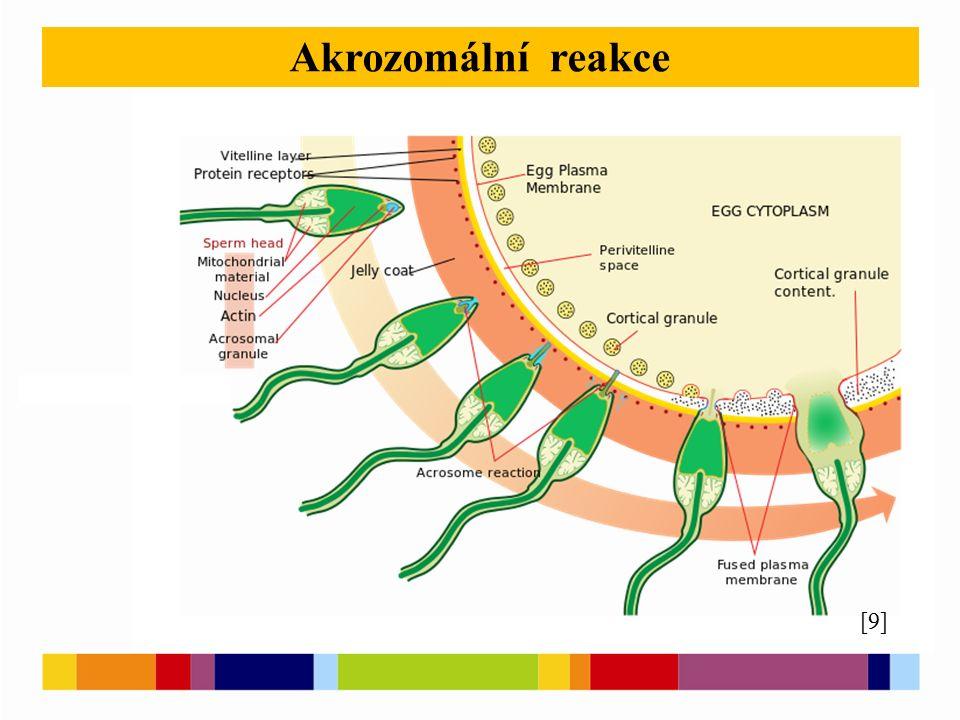 Akrozomální reakce [9]